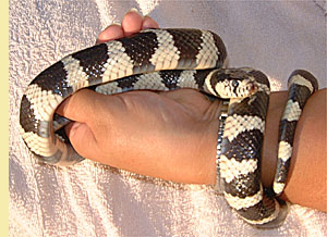 King Snake Roost - From Barbarism To Christian Manhood